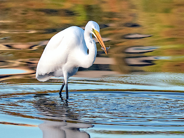 Great Egret 1311-101519 by Tam Ryan