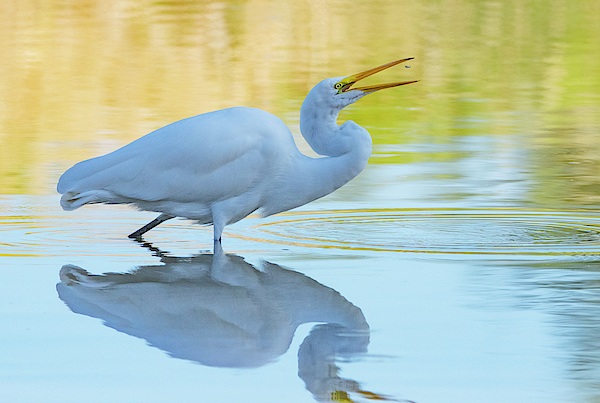 Great Egret 1452-101519 by Tam Ryan
