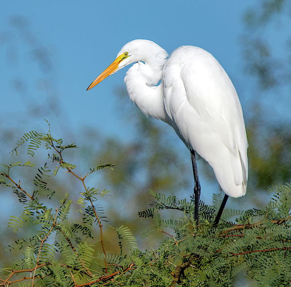 Great Egret 1471-101519 by Tam Ryan